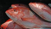 Red Snapper Recreational Seasons Open June 1